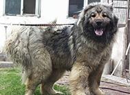 世界最大高加索犬魁梧圖片