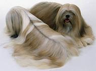 拉薩犬優雅時尚造型圖片