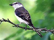 灵巧活泼的黑伯劳鸟图片
