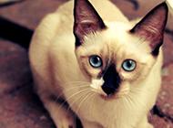短毛貓暹羅貓圖片大全