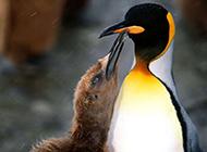 呆萌南极企鹅高清野生动物图片