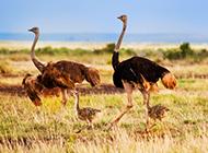 藍頸鴕鳥草原奔跑圖片