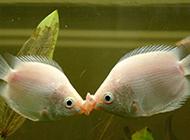 接吻鱼两嘴相对精美图片