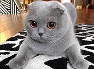 漂亮的純灰折耳貓圖片大全