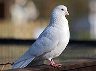 純潔優雅的白色信鴿圖片
