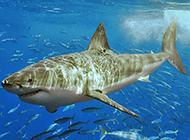 海底大鯊魚圖片壁紙
