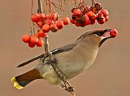 活泼可爱的大太平鸟图片
