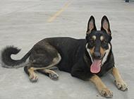 标准黑背昆明犬图片忠诚护国