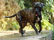 虎斑加纳利犬幼崽吐舌图片