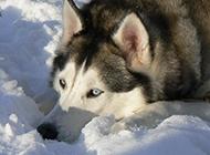 搞笑雪橇犬宠物狗图片