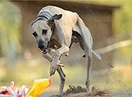 澳洲靈緹犬荒地賽跑圖片