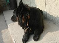 大黑熊犬居家慵懶抓拍圖片