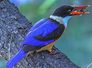 荊棘鳥站在樹枝上的圖片
