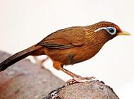 淘气可爱的大平头画眉鸟图片