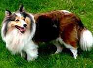 最漂亮的狗純種蘇格蘭牧羊犬圖片