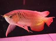 魚缸里的極品紅龍魚圖片