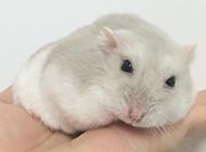 漂亮的奶茶仓鼠图片