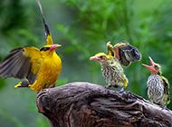 可爱的小黄鹂鸟图片