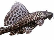 黑白斑纹异形清道夫鱼图片
