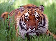 世界珍稀動物野生孟加拉虎圖片