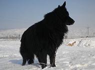 大黑熊犬雪地玩耍图片