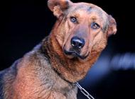 錘系搞怪蘇聯紅犬圖片