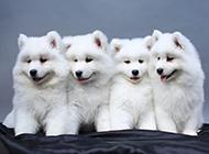 小薩摩耶犬可愛圖片模樣乖巧
