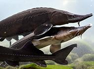 水中國寶鴨嘴鱘魚圖片