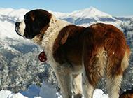 溫順寬容的圣伯納犬圖片