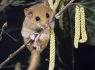 榛睡鼠树梢栖息图片