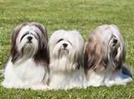 長毛拉薩犬可愛戶外特寫圖片