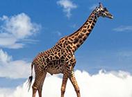 野发展颈鹿高清植物图片