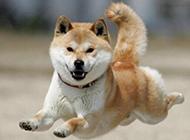飞起来的小型秋田犬图片