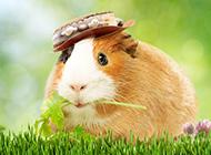 唯美豚鼠高清壁纸图片