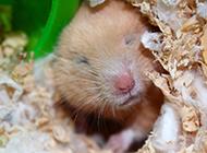 小布丁仓鼠打瞌睡图片