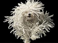 可蒙犬欢乐舞动图片