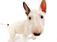 丑萌搞怪的纯种牛头梗犬图片