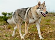 沉穩帥氣的捷克狼犬圖片
