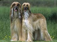 阿富汗獵犬復古外觀圖片
