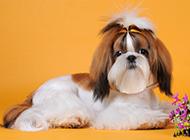 可愛的西施犬狗狗造型圖片