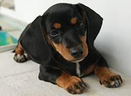 迷你腊肠犬可爱模样图片