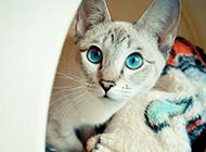 鉆石眼暹羅貓圖片壁紙大全