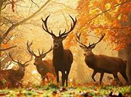可爱麋鹿动物图片近距离特写