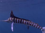 南方淡水旗魚游泳敏捷迅速圖片