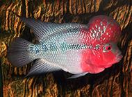 头部圆润的元宝罗汉鱼图片