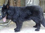健壯結實的小黑熊犬圖片
