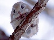 樹枝棲息的小飛鼠圖片大全