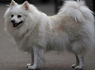 可愛狐貍犬優雅身姿圖片