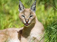 非洲狞猫野外狩猎图片