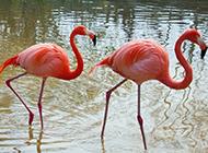 成双成对的动物火烈鸟摄影图片
